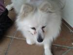 tilly - Spitz italiano (7 anni)
