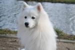 Ikkõ - Spitz giapponese Maschio (1 anno)