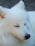 Puschel - wie ein Polarfuchs - Spitz giapponese Maschio (1 anno)