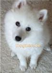 Puschel - wie ein Polarfuchs - Spitz giapponese Maschio (4 mesi)