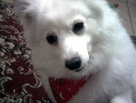 Lacey - Spitz giapponese (7 anni)