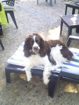 hévéa - English Springer Spaniel (4 anni)