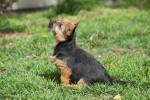 Foto Terrier di Norwich