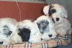 Sealyham Terrier - Terrier di Sealyham
