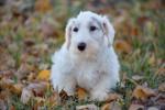 Foto Terrier di Sealyham