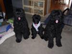 Morgan (AKC) - Terrier nero russo (1 anno)