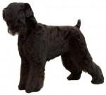 Foto Terrier nero russo