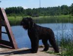 Lari - Terrier nero russo Maschio