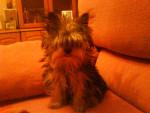 Mirmo - Toy terrier nero e fuoco Maschio (3 anni)