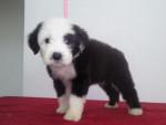 Punchis - Toy terrier nero e fuoco (6 anni)