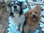Pequeña - Toy terrier nero e fuoco (7 anni)