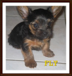 FLY - Toy terrier nero e fuoco Maschio (1 anno)