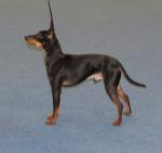 Koira - Toy terrier nero e fuoco