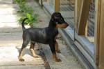 9 mois - Toy terrier nero e fuoco