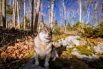 Foto Vallhund Svedese