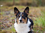 Foto Welsh Corgi Cardigan