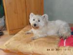 winnie - West Highland White terrier Maschio (10 anni)