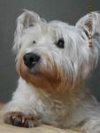 winnie ( super photo ) !!! - West Highland White terrier Maschio (10 anni)