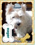 pretty girl - West Highland White terrier (7 mesi)