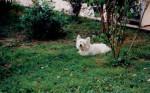 Maïk - West Highland White terrier Maschio (7 anni)