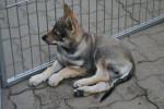 Jango - Cane Lupo Cecoslovacco Maschio (3 mesi)