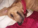 Bailey - Cane Léopard Catapultala Maschio (9 mesi)