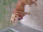 Bailey - Cane Léopard Catapultala Maschio (10 mesi)