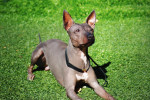 Foto American Hairless Terrier