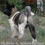 Isla Bonita du Territoire des Ours - Akita americano
