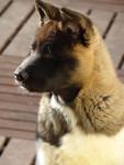 Portrait Isla Bonita du Territoire des Ours - Akita americano