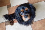 Cody - Cavalier King Charles Maschio (1 anno)