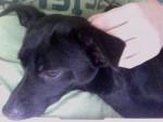 Ravus - Maschio (1 anno)