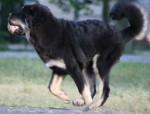 Zodd - Mastino tibetano Maschio (5 mesi)