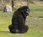 Zodd - Mastino tibetano Maschio (4 mesi)