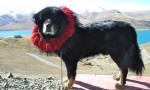 Foto Mastino tibetano