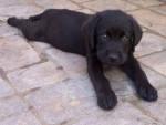 roky - Labrador Maschio (1 anno)