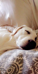 Ma Belle Nala - Labrador (7 mesi)