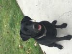 lexi - Labrador (4 anni)