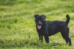 Foto Patterdale Terrier