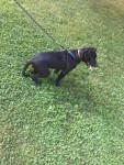 Tank - Pitbull Maschio (6 mesi)