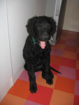aston - curly coated retriever - Curly Coated Retriever