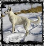 Première neige - Pastore Bianco Svizzero