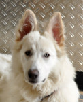 havey - Pastore Bianco Svizzero (4 anni 9 mesi)