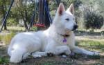 OSAKA - Pastore Bianco Svizzero (1 anno 1 mese)