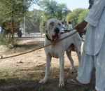 Foto Bully Kutta