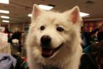 Foto American Eskimo Dog