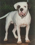Alapaha Blue Blood Bulldog - Alapaha Blue Blood Bulldog