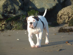 Foto Alapaha Blue Blood Bulldog