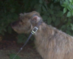 Foto American Staghound