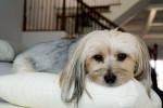 Layla - Morkie (6 anni)